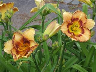 1 Plant d'Hémérocalle pour 3€ Affaire à Saisir