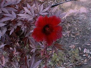 25 graines hibiscus a feuilles rouges(hibiscus acetosella)