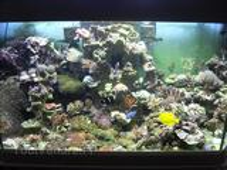 Bouture de coraux