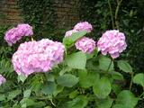 Boutures d'hortensias