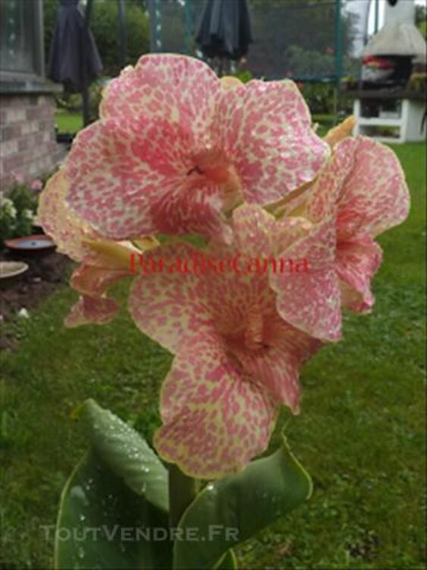 Canna indica (plusieurs variété en rhizome ou godet),bulbe 73539903