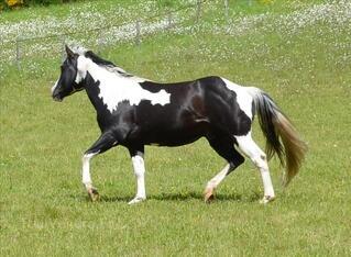 Etalon paint Horse Black Tobiano