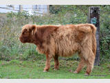 Génisse HIGHLAND CATTLE de 2019