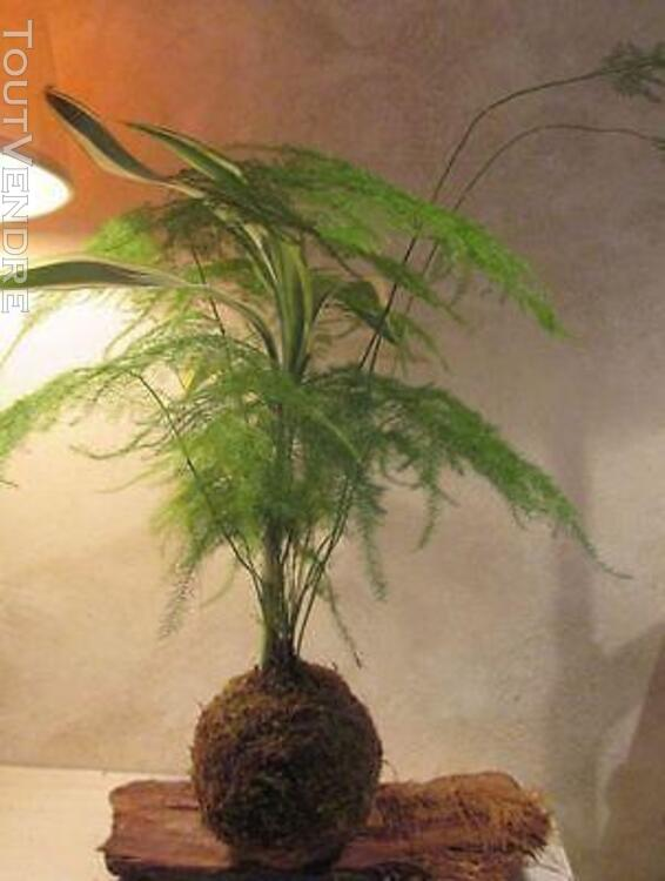 Kokedama plantes d'inspiration japonaise 154103050