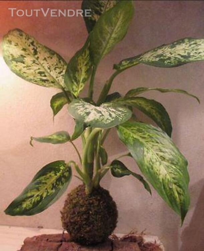 Kokedama plantes d'inspiration japonaise 154103992