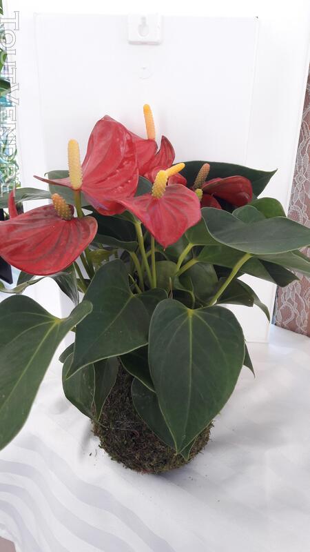 Kokedama plantes d'inspiration japonaise 154105249
