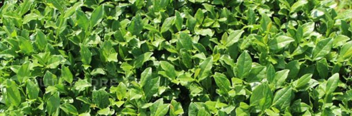 La Nature de Thé Vert-Tieguanyin(AA) 84788456