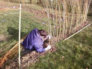 Osier pour plantation d' osier vivants