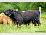 Vend HIGHLAND CATTLE animaux de reproduction