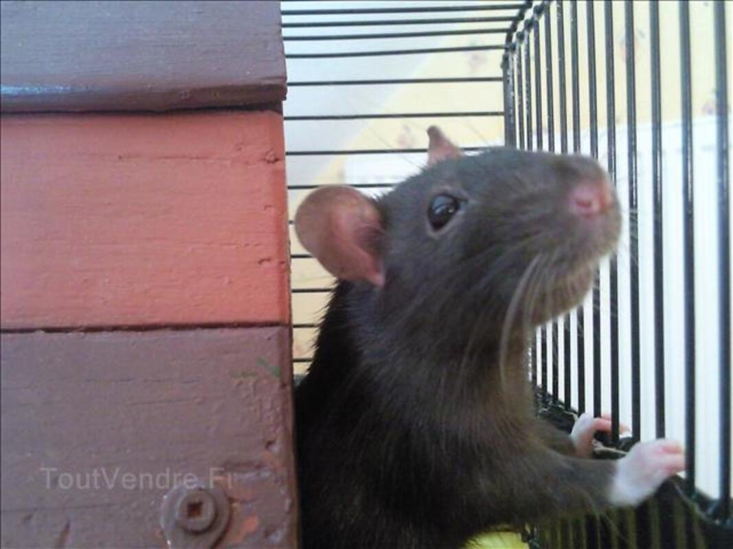 Rat+cage